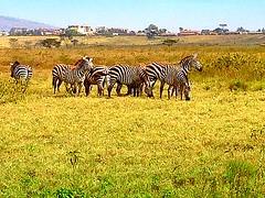 Kenya, Lake Nakuru National Park. Sebras (dimaruss34) Tags: newyork brooklyn dmitriyfomenko image sky trees svetlanafomenko kenya lakenakurunationalpark grass plain village hills zebra
