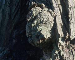 P9040127 (Paul Henegan) Tags: 54crop bark highlights lichen maple morninglight shadows tree