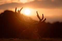 'End of the Day' (Jonathan Casey) Tags: deer red stag sunset nottingham wollaton park nikon d850 200mm f2 vr