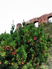Zamek Książąt Mazowieckich w Sochaczewie (basiamarcisz) Tags: rośliny przyroda nature natura sochaczew walls ruins castle mury ruiny zamek cis taxusbaccata taxus