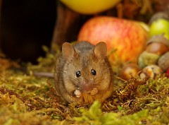 wild house mouse with apples  (5) (Simon Dell Photography) Tags: wild garden house mouse nature animal cute funny fun moss covered log pile acorns nuts berries berrys fuit apple high detail rodent wildlife eye ears door home sheffield ul old english country s12 simon dell apples autumn fall winter fruits seasonal photography