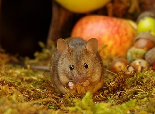 wild house mouse with apples  (5)