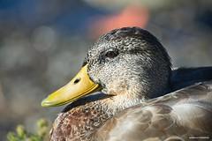 Female mallard (JSB PHOTOGRAPHS) Tags: jsb8492 mallard nikon d3 80400mm bokehlicious bokeh bird sunny altonbakerpark eugeneoregon femalemallard