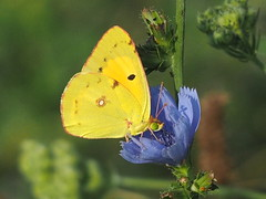 Colias crocea... (quarzonero ...Aldo A...) Tags: coliascrocea butterfly farfalla coth coth5