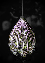 Teardrop (Beth Crawford 65) Tags: flora flower weed dellicate elegant queenannslace purple unwanted common naturalbeauty naturallighting bethcrawford