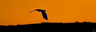 A Bald Eagle Silhouette