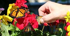 La grande envolée (francepar95) Tags: monarques papillons fleurs géranium envolée québec canada monarchbutterfly danausplexippus flowers migration nature insecte