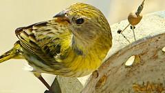 Canário da Telha (fjmr2012) Tags: bird canario da telha nature natureza pássaro