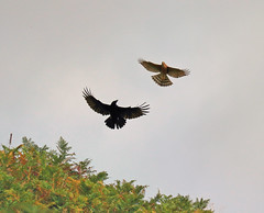 Mirror image. (acerman17) Tags: nature wildlife flight flying fighting kestrel crow