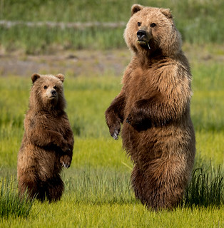2018 Lake Clark National Park- Bears Standing Up (23)