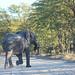 Loxodonta africana africana (Savanna Elephant)