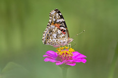 painted lady (G_Anderson) Tags: butterfly garden flowers backyard