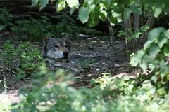 """""""Hm? Who called me?"""" (mux68-uh) Tags: zoo tierpark hellabrunn tierparkhellabrunn münchen munich europäisch wolf europäischerwolf canis lupus canisllupus"""