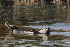 Grey Seal Titchwell Norfolk (JohnMannPhoto) Tags: grey seal titchwell norfolk
