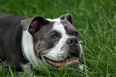 LOTUS (K.Verhulst) Tags: oldeenglishbulldogge oldenglishbulldog bulldog dog dogs hond huisdier pet lotus coth5