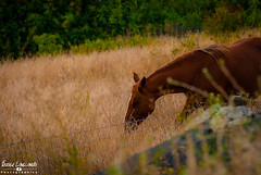 Imaginative Horses (Fraser8888) Tags: horse collection vernon bc canada field outdoors summer riding grazing nikon real beauty