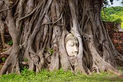 Bouddharbre Buddtree...Wat Mahathat (geolis06) Tags: geolis06 asia asie thaïlande olympus ayutthaya watmahathat bouddhisme bouddha buddhism religion pilgrim pélerin prière prayer statue tête head patrimoinemondial unesco unescoworldheritage unescosite