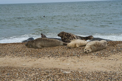 2018_Norfolk_HorseyBeach_Seals_9 (atkiteach) Tags: norfolk uk england horsey horseybeach sea seaside northsea beach seal seals