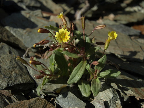 limestone monkeyflower, Erythranthe calcicola