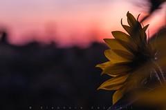 Sunset colors (Eleonora Cacciari) Tags: sunset girasole sunflower fiori girasoli sun sole eleonoracacciari eleonoracacciariphoto eleonoracacciarisshot colori canoneos80d canon80d campagna countryside fotografieeleonorac fotografia poesia