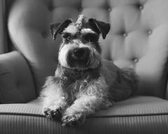 Snicker 1 (Cheryl3001) Tags: schnauzer fujifilm xt2 35mm f2 dog black white portrait pup