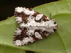 Noctuid Moth, Condica sp. (Ecuador Megadiverso) Tags: andreaskay birdwatcherslodge ecuador mindo moth noctuidae condica