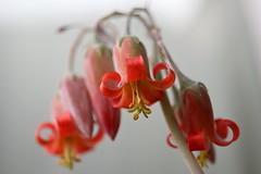 Cotyledon flowers
