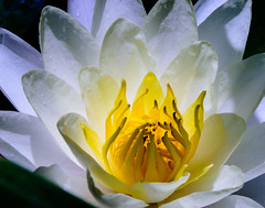 Radiating from within (fenicephoto) Tags: gettyvilla waterlily