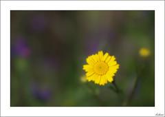 Colores (V- strom) Tags: flor flower amarillo yelow verde green violet violeta petals pétalos planta macrophotography macrofotografía macrodeflora nikon nikon105mm nikond700 primavera springtime bokeh vstrom texturas textures