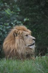 Leeuw (Panthera leo) | ♂ (Frank Berbers) Tags: leeuw pantheraleo löwe lion felidae katachtige zoogdier mammalia carnivora roofdier dierentuin zoo gaiazoo tiergarten jardinzoologique kerkrade zuidlimburg limburg nederland nikond5600