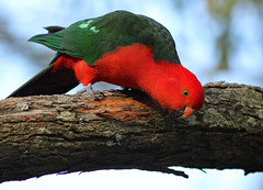 King Parrot (Adult, male) (rankenhohn59) Tags: bird parrot animal native nature wildlife australian woodland