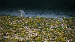 grande aigrette (ardea alba) et aigrette garzette (egretta garzetta) (pierre.pruvot2) Tags: france pasdecalais guînes oiseaux marais gx80 contrejour
