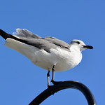 Kemah - Laughing Gull thumbnail