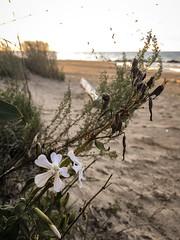 "Sleepy Catchfly  ""Silene antirrhina""  Caryophyllaceae (Pink family) (sumilex77) Tags: presqueisle wildflower catchfly sand beach flower pa padcnr pennsylvania"