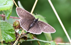 The 'Eyes' have it. (pstone646) Tags: butterfly insect nature animal wildlife flora fauna bokeh closeup macro ringlet