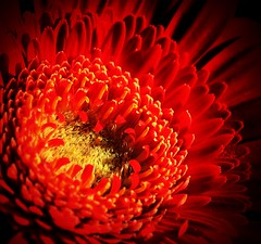 Beautiful red 'Gerbera'.. (Elles van Pinxteren) Tags: macro macros flowers flower red detail detailphotography photo canon photoart fleurs blumen garden jardin bloemen tuin