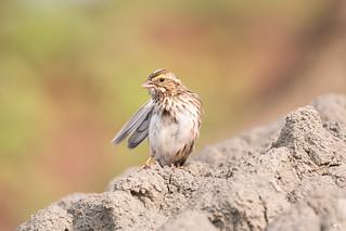 ''Mannequin!'' Buant des prés-Savannah sparrow