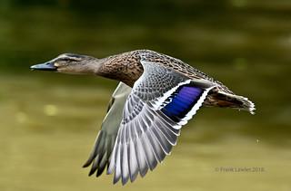 Mallard over Goffs pond.R267.64.
