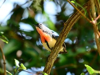 紅胸啄花  or   紅胸啄花鳥