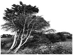 Landscape in France (unukorno) Tags: cloharscarnoët bretagne frankreich tree bw sw blackwhite landscape monochrome