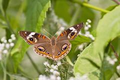 common buckeye (G_Anderson) Tags: butterfly garden flowers backyard