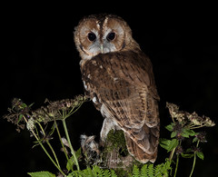 Tawny Owl (Ian howells wildlife photography) Tags: ianhowells ianhowellswildlifephotography nature naturephotography nationalgeographic night canon canonuk flash wildlife wildlifephotography wales wild wildbird wildbirds tawnyowl tawny owl