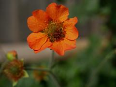 Geum (DaveC...) Tags: orange geum bokeh flower garden westsussex uk lumixdmcg80 lumixvario1260mm closeup depthoffield petals stamen pistil pollen