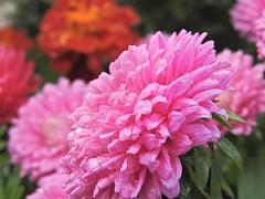 After the rain I (W@llus2010) Tags: bokeh telemakro nahaufnahme wassertropfen regen regentropfen pink rosa