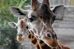 Reticulated Giraffe (Sarah Constancia Photography) Tags: spots mammal african missouri springfield dickersonparkzoo zoo reticulatedgiraffe giraffe