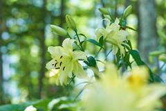 in the forest (peaceful-jp-scenery (busy)) Tags: sony α99ⅱ a99m2 ilca99m2 amount minoltaafmacro100mmf28 iwatake lily hakuba mountain 白馬岩岳スキー場 ユリ園 マウンテンビュー 夏 ユリ 花 白馬 長野 日本