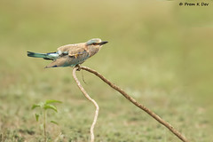 # Indian Roller........... (Prem K Dev) Tags: indian india roller blue bird beautiful bokeh bg jay wildlife wonderful catchlight chennai colourful composition cream action avian attractive artistic nature tree tropical twig outskirts siruthavur perched pose