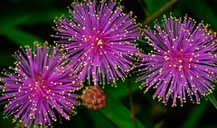 Explosion of Color (really_late_bloomer) Tags: macromondays multicolor sensitivebrier mimosa bright wildflowers colors explosion fireworks