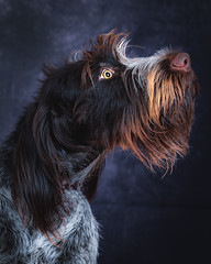 Pfeffer (Eeyore Photography) Tags: robertjacksonphotography nikond750 eeyorephotography photography dog k9 pet wirehair dd