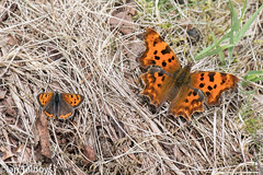 Comma and small copper butterflies (Ian R T) Tags: comma smallcopper butterfly insect castlefraser aberdeenshire commabutterfly scotland uk
